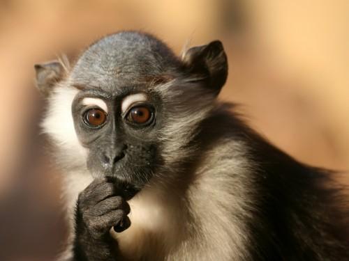 Monkey looking like a Philosopher