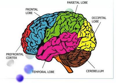 Brain of Teen.jpg.