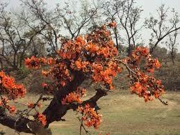 Palasha Flower.jpg