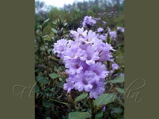 Kurinji Flower listed in Tamil poem