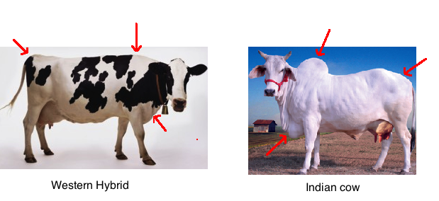 Hybrid, Indian cow.